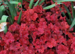 Посадка и уход за гейхерой, размножение из семян 86