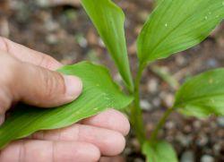 Как вырастить имбирь на огороде