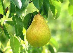 на какой год плодоносит груша