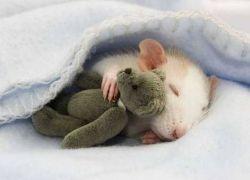 Как правильно ухаживать за крысой