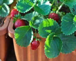 Как садить землянику семенами