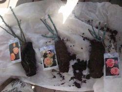 Как сохранить черенки роз зимой