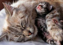 Кошка рожает первый раз – что делать