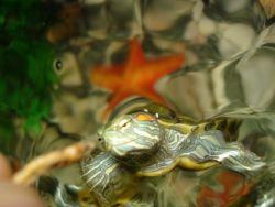 Красноухая черепаха кормление