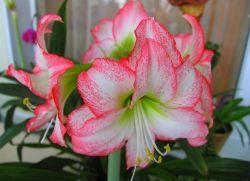 луковичные домашние цветы название и фото