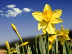 нарциссы выращивание и уход