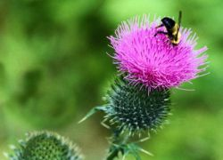 Мед из расторопши полезные свойства