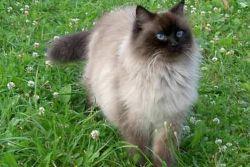 невская маскарадная кошка уход