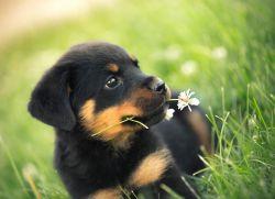 Ротвейлер с цветами фото