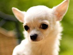 собачка фото чихуахуа