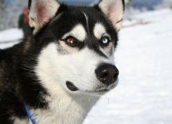 лайка фото собак