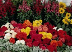 цветы многолетники фото цветущие все лето