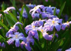 цветок пушкиния
