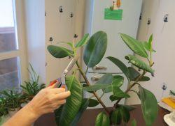 фикус размножение листом