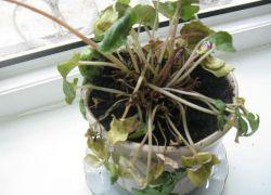 Почему желтеют листья у цикламена