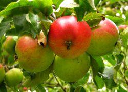 яблоко полезные свойства