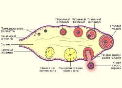 Болит желтое тело при беременности