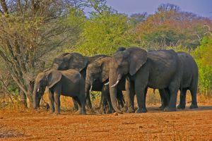 Слоны в парке Крюгер