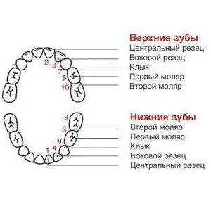 схема прорезывания зубов у детей_1.jpg