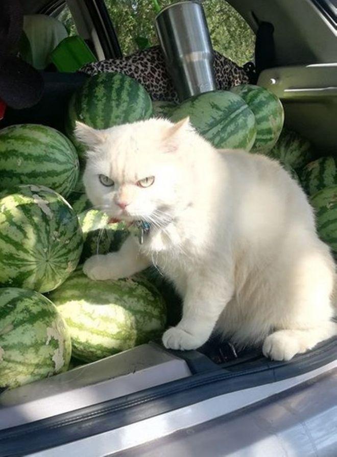 кот жадина