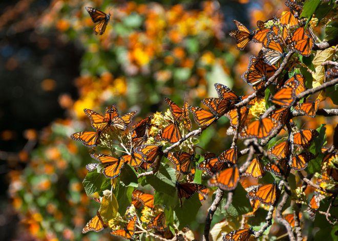 бабочки-путешественницы