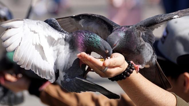 В Сан-Франциско запрещено кормить голубей