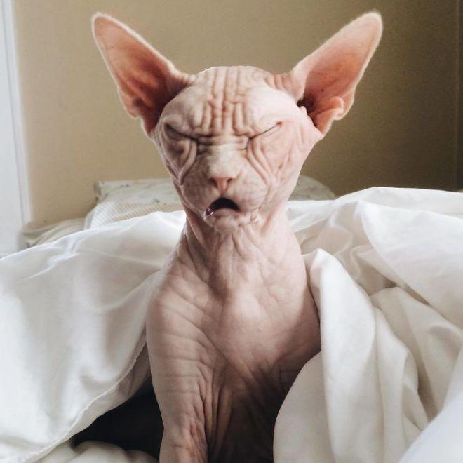 подборка смачных лысые кошки смешные фото словами