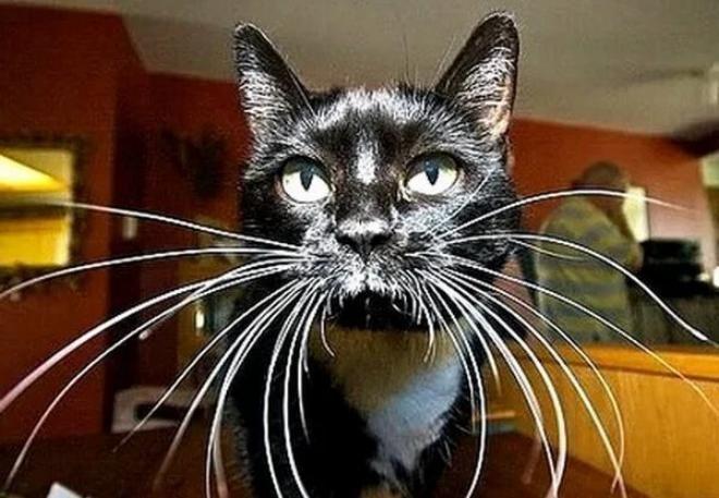 Кошка с самыми длинными усами