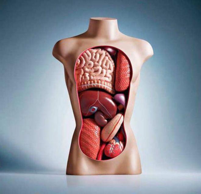 Манекен с органами