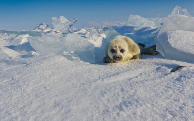 спрятался в льдинах