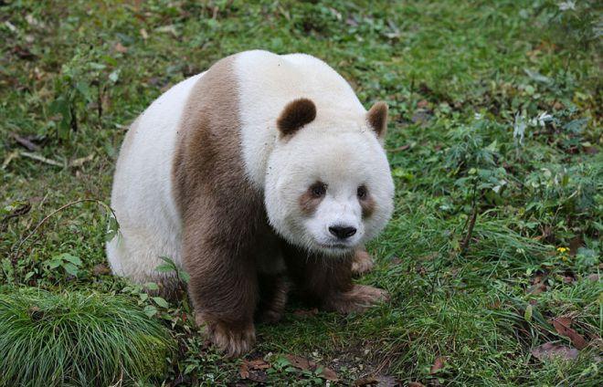 У Квизай необычный для панд окрас