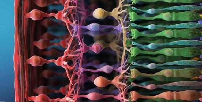 Фоторецепторы, которые у нас есть в сетчатке