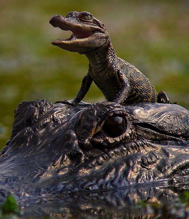 Смешной крокодил картинка