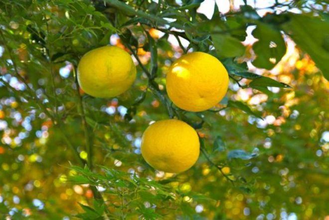 Желтые мандаринки