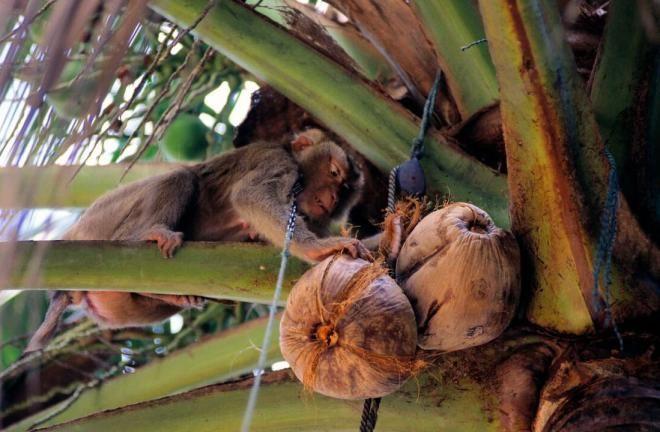 Обезьяны и кокосы
