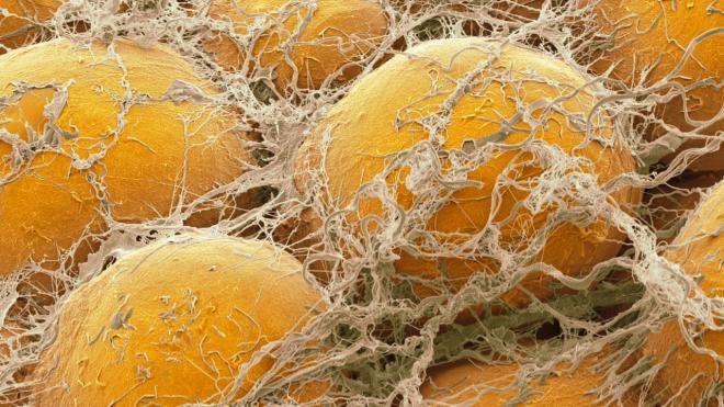Жировые клетки общаются с другими частями тела