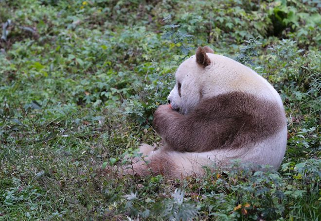 У коричневой панды отличный аппетит