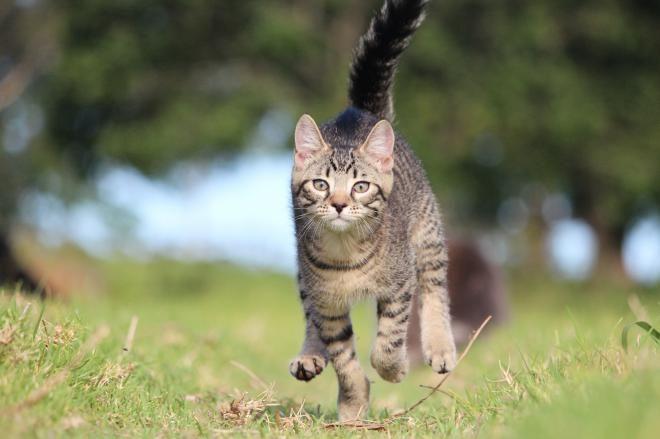 Кот, который преодолел самое большое расстояние