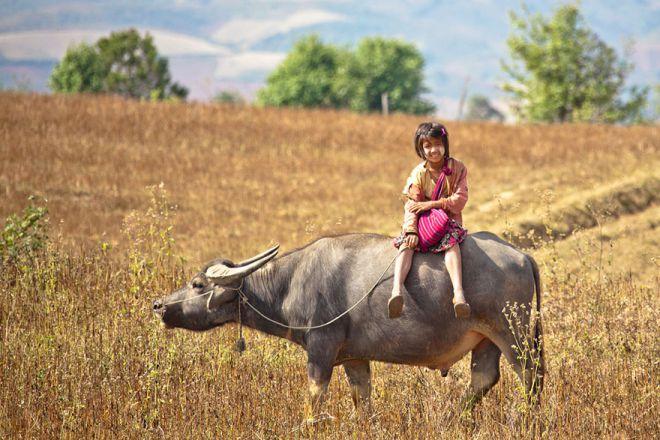 Школьница из Мьянмы спешит в школу верхом на быке