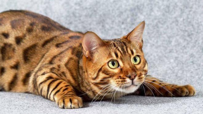 Самый дорогой кот в мире