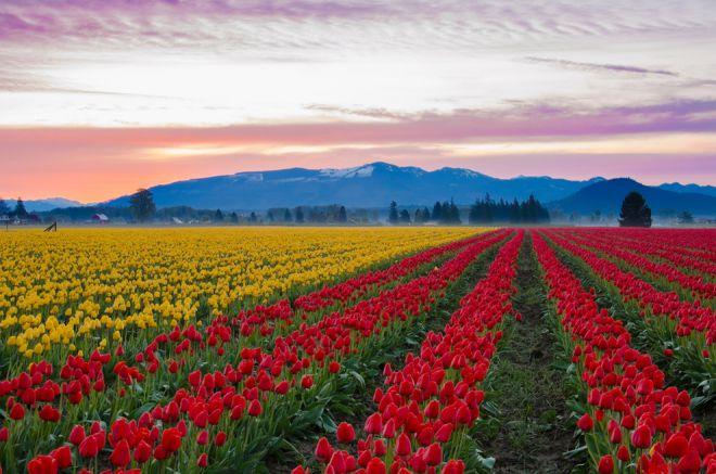Поля тюльпанов долины Скагит, Вашингтон 1