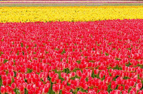 Поля тюльпанов долины Скагит, Вашингтон 2