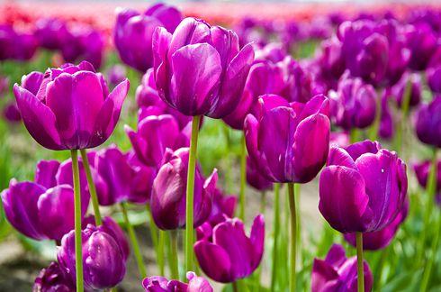 Поля тюльпанов долины Скагит, Вашингтон 3