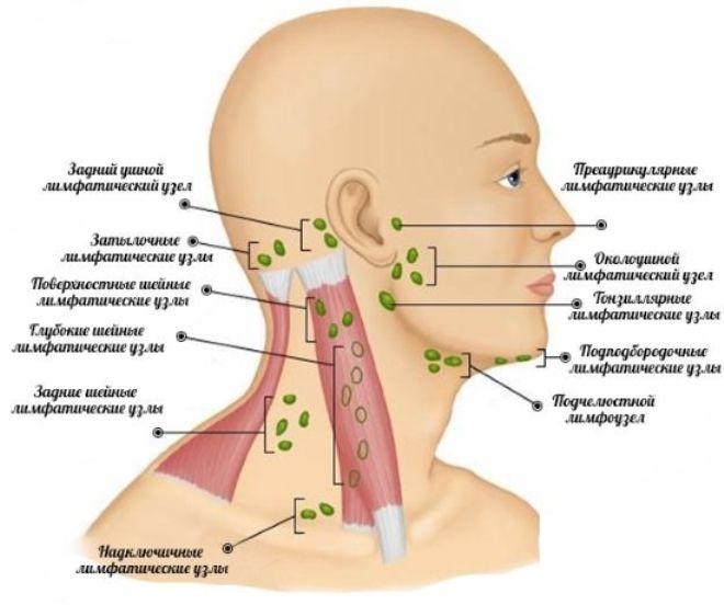 шейные лимфатические узлы расположение