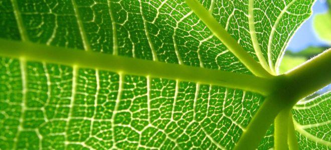 лист лопуха при болях в суставах