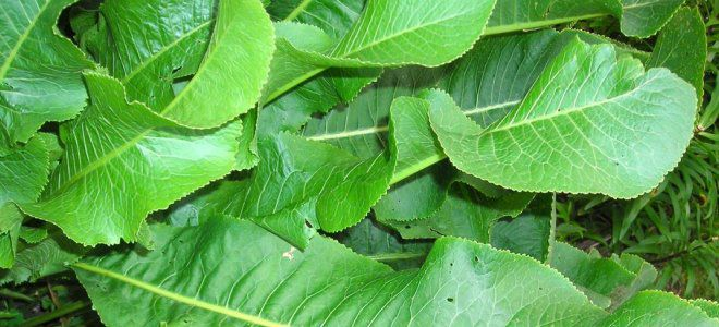 листья хрена при болезни суставов
