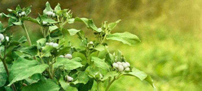 листья лопуха для рассасывания кисты