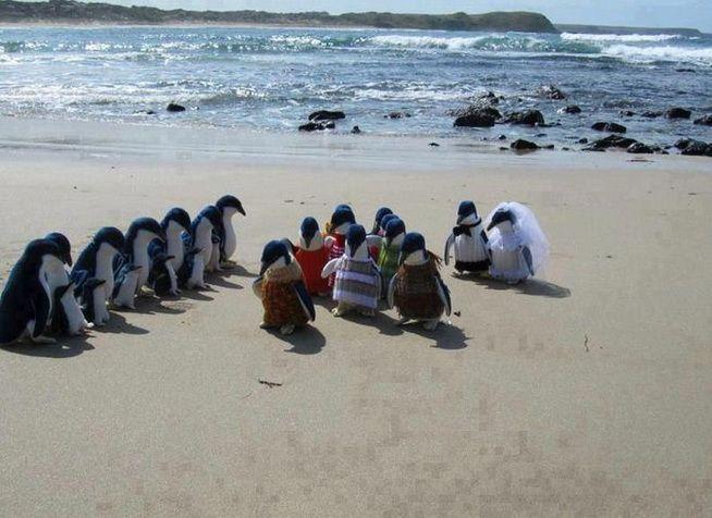 церемония у пингвинов