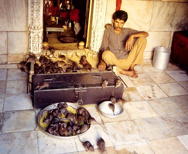 храм крыс индия