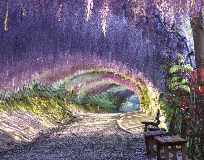 тоннель вистерия